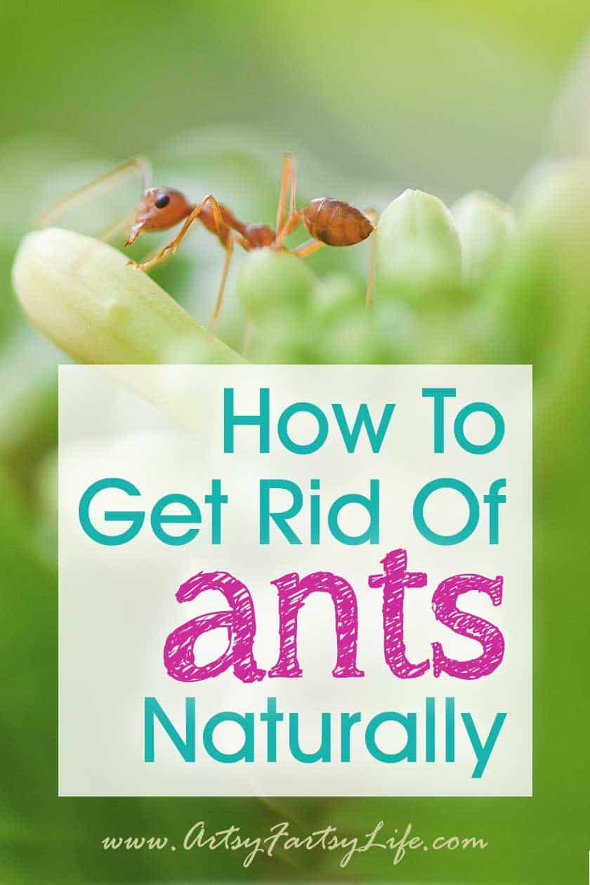 How To Get Rid of Ants Naturally