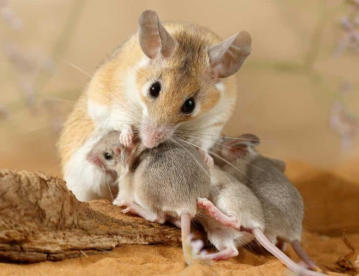 Picture of Mom mouse and babies