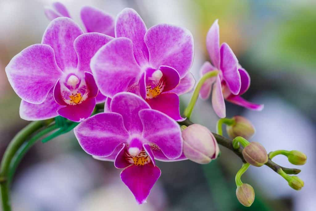 Orchid purple color