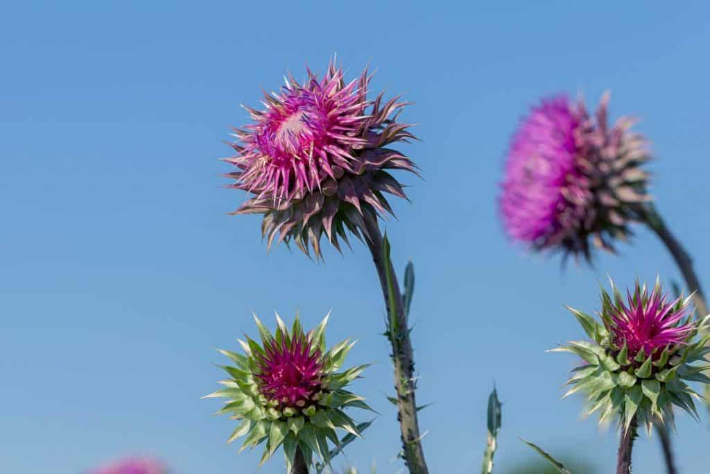 Thistle Purple Color
