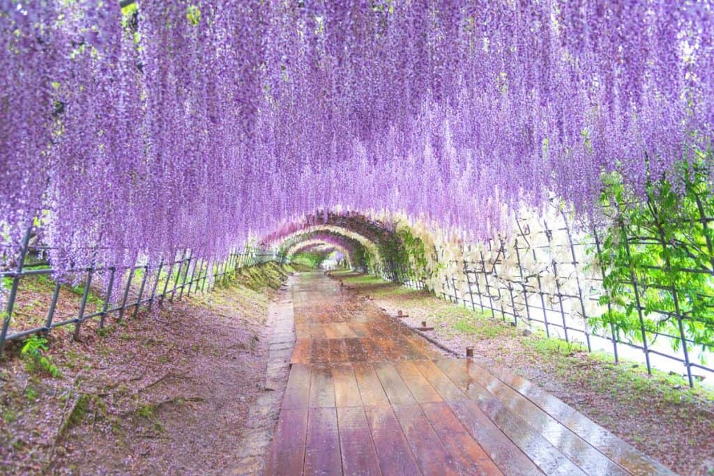 Wisteria Purple Color